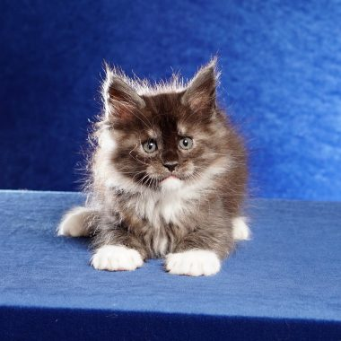Kitten #7 Maine Coon